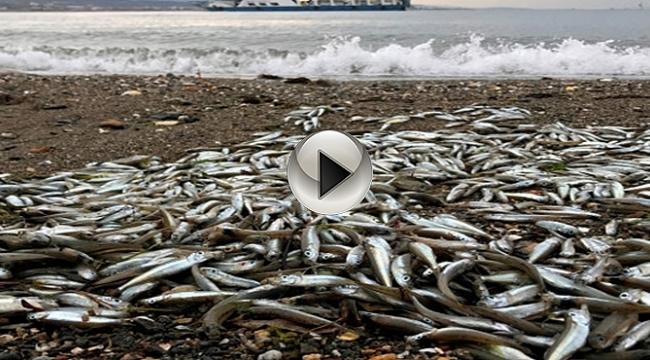 Sahilde Binlerce Balık Karaya Vurdu