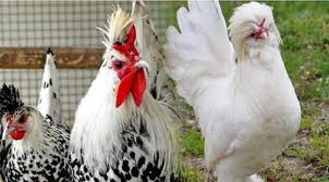 Süs Tavukları Görsel Etkinliği ve Satış Mezadına Sayılı Günler Kaldı