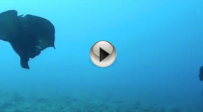 Çanakkale'de Deniz Tavşanı Görüntülendi